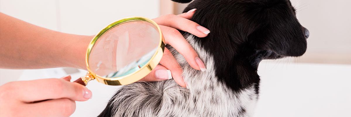 Flåter på hunde: Sådan fjerner du en flåt og beskytter din hund bedst muligt